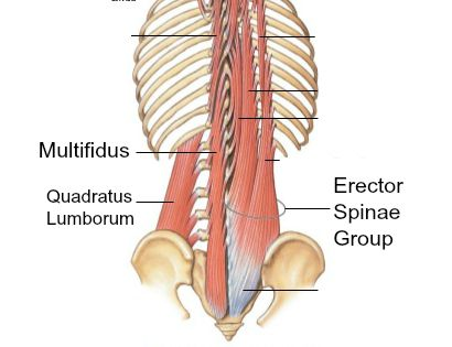 lower back muscles
